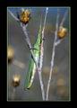 Акрида (Acrida mediterranea) ; comments:21