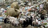 Природа и околна Среда,Свинска му работа-Полудиви прасета се хранят в сметището на гр Ахтопол ; comments:22
