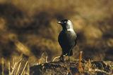 Чавка (Corvus monedula) ; comments:11