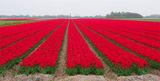 Червени поля - Red fields ; comments:26