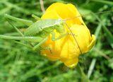 Зелен скакалец ; comments:14