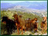 """"""" Стадо диви кози """" ; comments:28"""