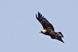 Царски орел (Aquila heliaca) ; comments:23