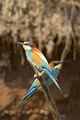Пчелояди (Merops apiaster) ; comments:37