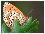 Пеперудка ; comments:52