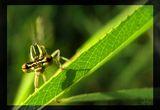 Фронтален поглед - зелено конче ; comments:35