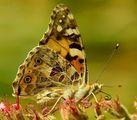 Пеперуда със спираловидно хоботче ; comments:55