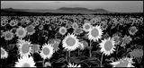 поля от слънчогледи ; comments:101
