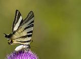 Лястовича опашка (Iphiclides podalirius) ; comments:27