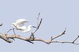 Малка бяла чапла (Egretta garzetta) ; comments:18
