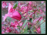 Родопско цвете ; comments:7