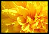 Слънчево жълто ; comments:16