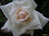 Бяла роза ; comments:31