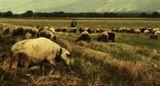 Пейзаж с овце ; comments:41