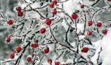 Приказки по шипковия храст ; comments:31