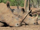 следобеда на белия носорог ; comments:13