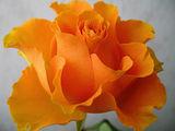 Огнена роза ; comments:85