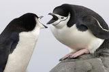 Антарктически пингвин  (Pygoscelis_antarctica) ; comments:79