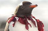 Портрет на пингвин папуа (Pygoscelis papua) с огърлица от заплетени червени водорасли (Iridea sp.) ; comments:56