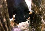 Раздразнението на бика ; Comments:21