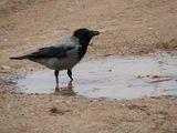 Сива врана (Corvus corone cornix) ; comments:8