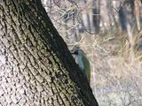 Зелен кълвач (Picus viridis) ; comments:11