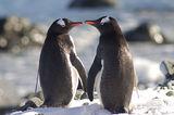 пингвини папуа (Pygoscelis papua) - младежка любов ; comments:71