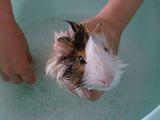 Морско свинче на баня ; Comments:30
