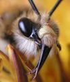 пчеличка на портрет. ; comments:33