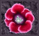 Каменно цвете ; comments:40