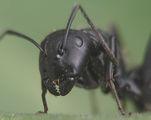 мравка ; comments:42