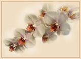 орхидея ; comments:75