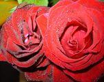 Кърваво червена любов ; Comments:16