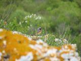 Градинска червеноопашка (Phoenicurus phoenicurus) ; comments:4