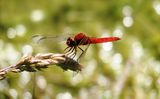 Scarlet Dragonfly (Crocothemis erythraea) ; comments:7