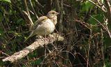 Зеленика (Carduelis chloris) - женска ; comments:7