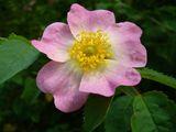Розова романтика ; Comments:9