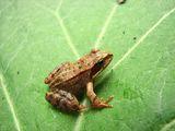 Планинска жаба (Rana temporaria L., 1758) ; comments:4
