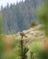 Сивогуша завирушка (Prunella modularis) ; comments:17