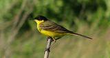 Жълта стърчиопашка (Motacilla flava feldegg Michahelles, 1830) ; comments:23