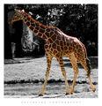 Giraffa camelopardalis ; comments:50
