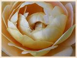 Портрет на една роза ; comments:52
