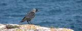 Чавка (Corvus monedula) ; comments:14