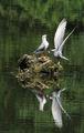 Белобуза рибарка (Chlidonias hybridus) ; comments:39