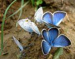 пеперудено синьо ; comments:51