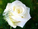 нежност в бяло ; Comments:10