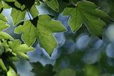 горско синьо ; Comments:14