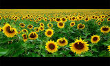 """Sunflowers"" ; comments:117"