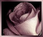 Пепел от рози 4 ; Comments:37
