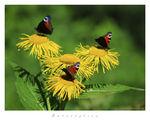 Butterflies ; comments:83